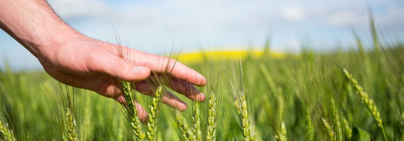 Hand fühlt die Pflanzen auf dem Feld